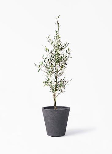 観葉植物 オリーブの木 8号 コロネイキ ビアスソリッド ブラック 付き