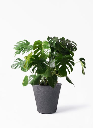 観葉植物 モンステラ 8号 ボサ造り ビアスソリッド ブラック 付き