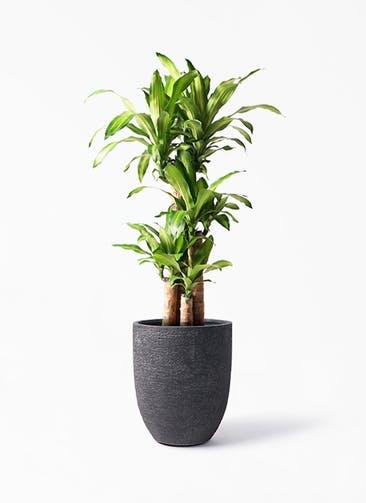 観葉植物 ドラセナ 幸福の木 8号 ノーマル ビアスアルトエッグ ブラック 付き