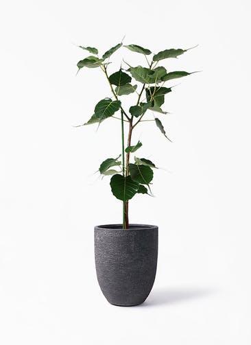 観葉植物 インドボダイジュ 8号 ビアスアルトエッグ ブラック 付き