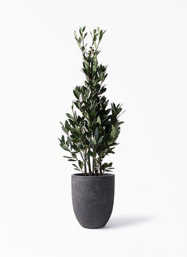 観葉植物 月桂樹 8号 ビアスアルトエッグ ブラック 付き