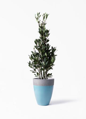観葉植物 月桂樹 8号 ファイバーストーンカプリ 青 付き