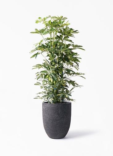 観葉植物 カポック(シェフレラ) 8号 斑入り ビアスアルトエッグ ブラック 付き