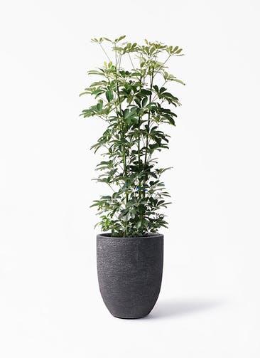 観葉植物 カポック(シェフレラ) 8号 ノーマル ビアスアルトエッグ ブラック 付き