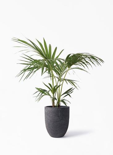 観葉植物 ケンチャヤシ 8号 ビアスアルトエッグ ブラック 付き