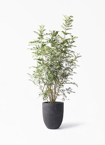 観葉植物 シマトネリコ 8号 ビアスアルトエッグ ブラック 付き