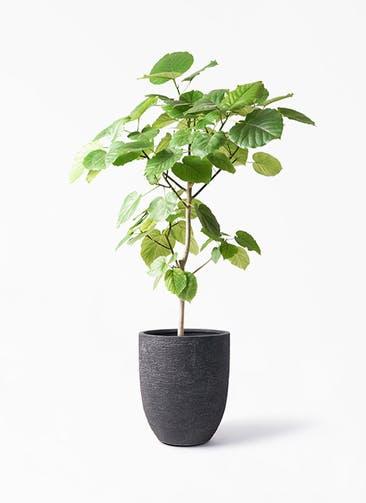 観葉植物 フィカス ウンベラータ 8号 ノーマル ビアスアルトエッグ ブラック 付き
