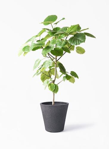 観葉植物 フィカス ウンベラータ 8号 ノーマル ビアスソリッド ブラック 付き