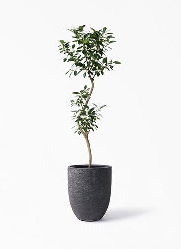 観葉植物 フランスゴムの木 8号 曲り ビアスアルトエッグ ブラック 付き