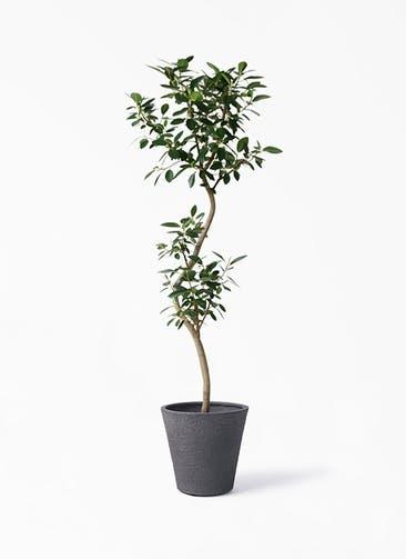 観葉植物 フランスゴムの木 8号 曲り ビアスソリッド ブラック 付き