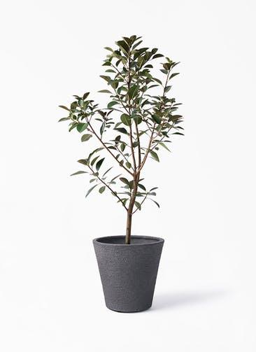 観葉植物 フランスゴムの木 8号 ノーマル ビアスソリッド ブラック 付き