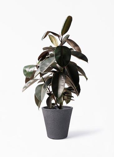 観葉植物 フィカス バーガンディ 8号 ノーマル ビアスソリッド ブラック 付き