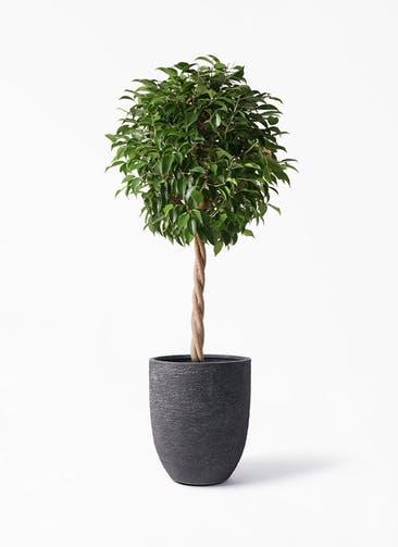 観葉植物 フィカス ベンジャミン 8号 玉造り ビアスアルトエッグ ブラック 付き