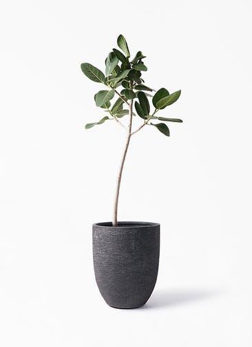 観葉植物 フィカス ベンガレンシス 8号 ストレート ビアスアルトエッグ ブラック 付き