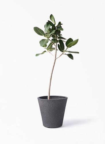 観葉植物 フィカス ベンガレンシス 8号 ストレート ビアスソリッド ブラック 付き