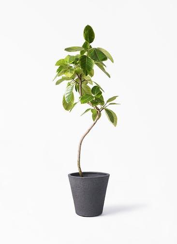 観葉植物 フィカス アルテシーマ 8号 曲り ビアスソリッド ブラック 付き