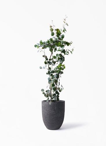 観葉植物 ユーカリ 8号 ポリアンセモス ビアスアルトエッグ ブラック 付き