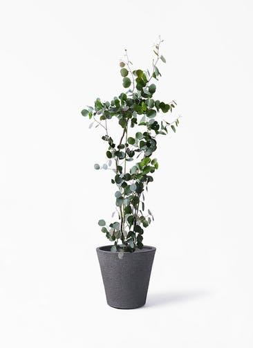 観葉植物 ユーカリ 8号 ポリアンセモス ビアスソリッド ブラック 付き