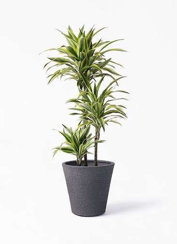観葉植物 ドラセナ ワーネッキー レモンライム 8号 ビアスソリッド ブラック 付き