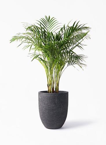観葉植物 アレカヤシ 8号 ビアスアルトエッグ ブラック 付き
