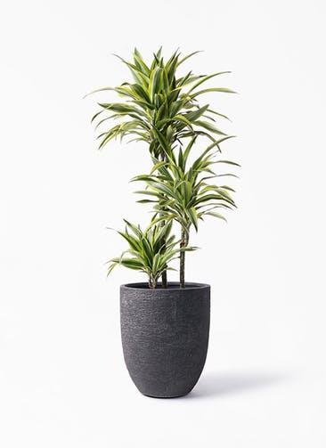 観葉植物 ドラセナ ワーネッキー レモンライム 8号 ビアスアルトエッグ ブラック 付き