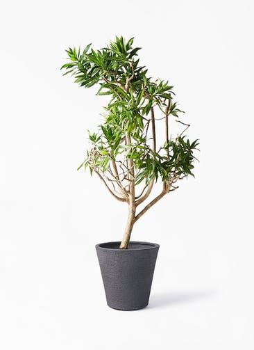 観葉植物 ドラセナ ソング オブ ジャマイカ 8号 ビアスソリッド ブラック 付き
