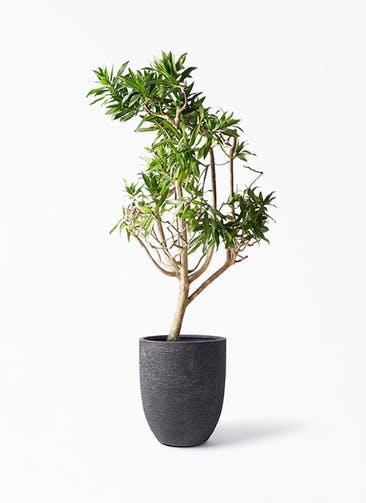 観葉植物 ドラセナ ソング オブ ジャマイカ 8号 ビアスアルトエッグ ブラック 付き