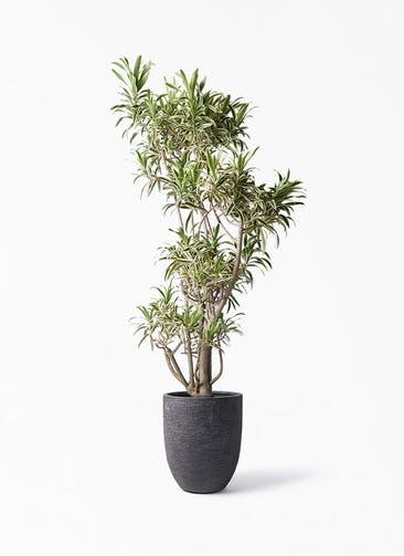 観葉植物 ドラセナ ソング オブ インディア 8号 ビアスアルトエッグ ブラック 付き