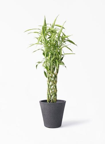 観葉植物 ドラセナ ミリオンバンブー(幸運の竹) 8号 ビアスソリッド ブラック 付き