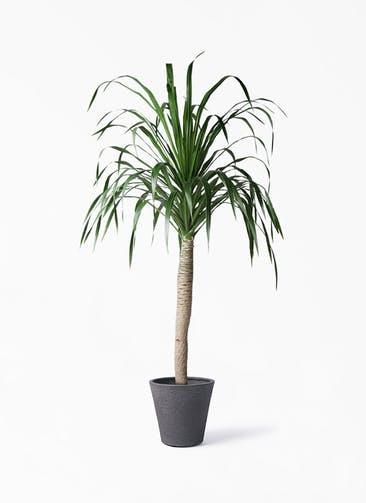 観葉植物 ドラセナ ドラコ 8号 ビアスソリッド ブラック 付き