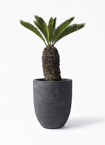 観葉植物 ソテツ 8号 ビアスアルトエッグ ブラック 付き