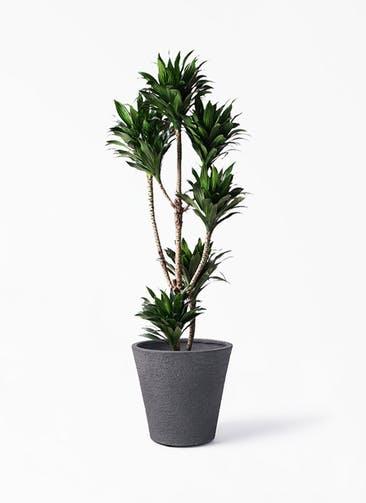 観葉植物 ドラセナ コンパクター 8号 ビアスソリッド ブラック 付き