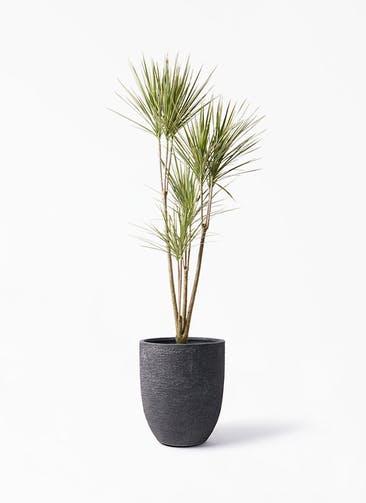 観葉植物 コンシンネ ホワイポリー 8号 ストレート ビアスアルトエッグ ブラック 付き
