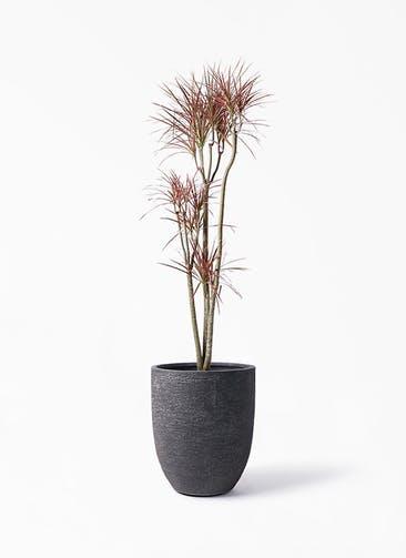 観葉植物 ドラセナ コンシンネ レインボー 8号 ストレート ビアスアルトエッグ ブラック 付き