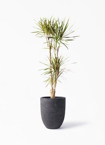 観葉植物 ドラセナ コンシンネ 8号 寄せ ビアスアルトエッグ ブラック 付き