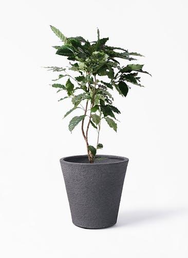 観葉植物 コーヒーの木 8号 ビアスソリッド ブラック 付き