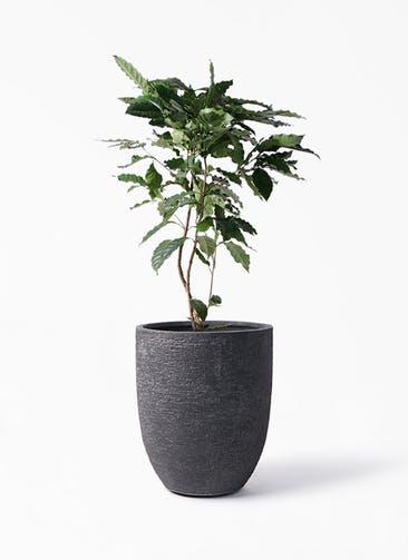 観葉植物 コーヒーの木 8号 ビアスアルトエッグ ブラック 付き