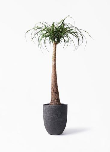 観葉植物 トックリラン 8号 ビアスアルトエッグ ブラック 付き