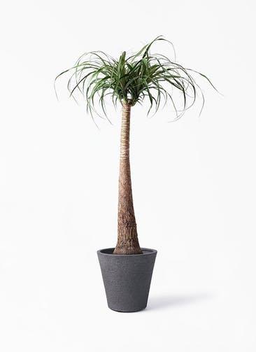 観葉植物 トックリラン 8号 ビアスソリッド ブラック 付き