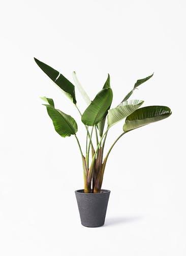 観葉植物 オーガスタ 8号 ビアスソリッド ブラック 付き