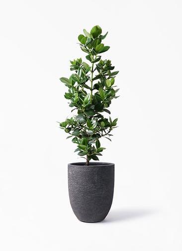 観葉植物 クルシア ロゼア プリンセス 8号 ビアスアルトエッグ ブラック 付き