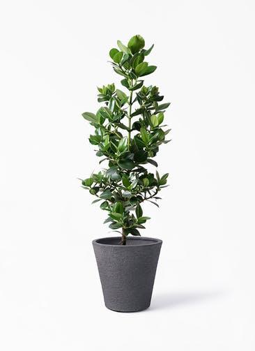 観葉植物 クルシア ロゼア プリンセス 8号 ビアスソリッド ブラック 付き