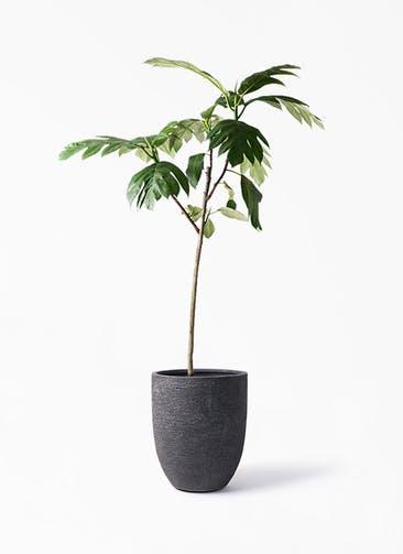 観葉植物 パンノキ 8号 ビアスアルトエッグ ブラック 付き