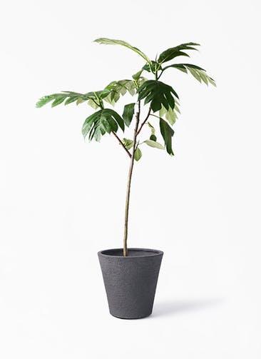 観葉植物 パンノキ 8号 ビアスソリッド ブラック 付き