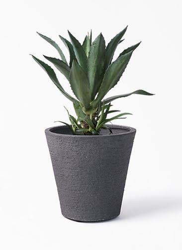 観葉植物 アガベ 8号 アメリカーナ ビアスソリッド ブラック 付き