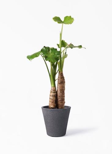 観葉植物 クワズイモ 8号 ビアスソリッド ブラック 付き