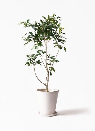 観葉植物 アマゾンオリーブ (ムラサキフトモモ) 10号 サブリナ 白 付き