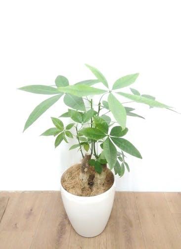 観葉植物 パキラ 【70cm】 パキラ 6号 #24134 ラスターポット付き