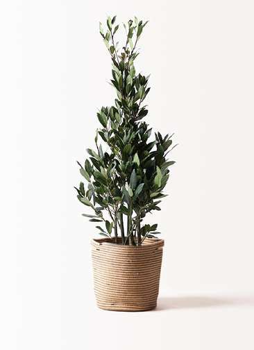 観葉植物 月桂樹 8号 リブバスケットNatural 付き