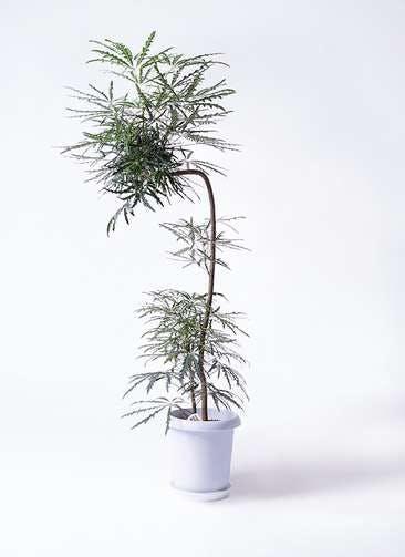 観葉植物 グリーンアラレア 8号 曲り(L字) プラスチック鉢